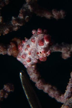 Pygmy-Seahorse -Raja Ampat- 20141017 092603 UW 05510
