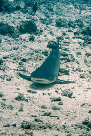 Reefshark -Raja Ampat- 20141008 113225 UW 02443-2