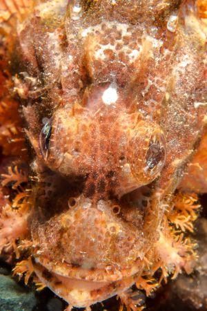 Scorpionfish -Raja Ampat- 20141006 123148 UW 01796