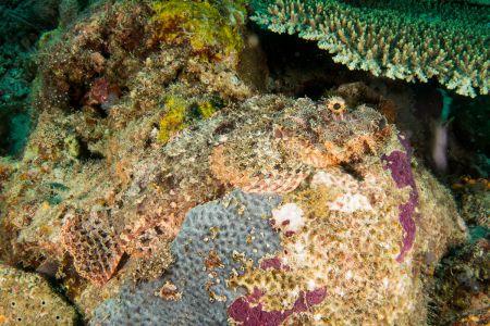 Scorpionfish -Raja Ampat- 20141006 125511 UW 01839