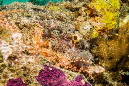 Scorpionfish -Raja Ampat- 20141006 125553 UW 01843