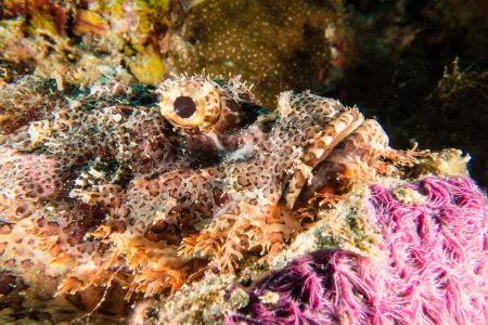 Scorpionfish -Raja Ampat- 20141006 125806 UW 01851