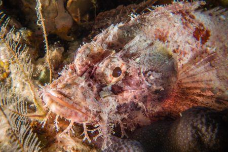 Scorpionfish -Raja Ampat- 20141010 092848 UW 02982