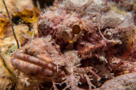 Scorpionfish -Raja Ampat- 20141010 092954 UW 02985