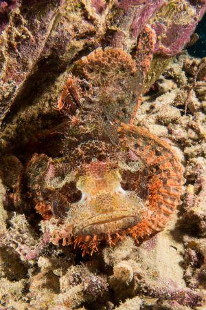 Scorpionfish -Raja Ampat- 20141011 101838 UW 03314