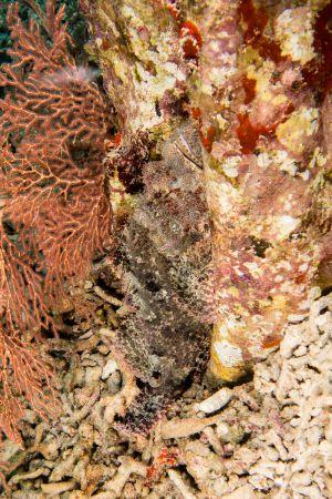 Scorpionfish -Raja Ampat- 20141011 102448 UW 03323