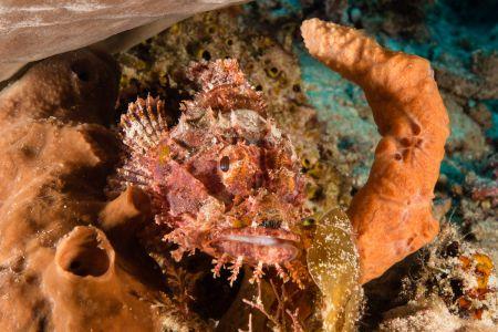 Scorpionfish -Raja Ampat- 20141018 090922 UW 05920