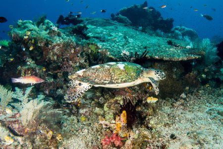 Sea turtle -Raja Ampat- 20141010 094646 UW 03009-A