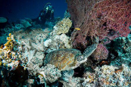 Sea turtle -Raja Ampat- 20141014 121211 UW 04391