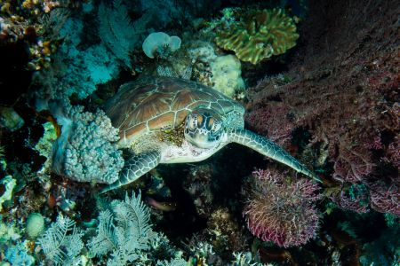 Sea turtle -Raja Ampat- 20141014 121225 UW 04392