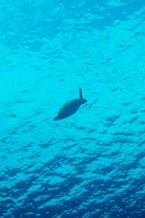 Sea turtle -Raja Ampat- 20141017 125824 UW 05679
