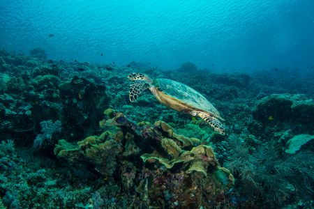 Sea turtle -Raja Ampat- 20141017 130103 UW 05691