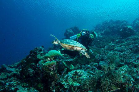 Sea turtle -Raja Ampat- 20141017 130132 UW 05695