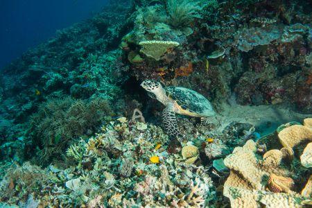 Sea turtle -Raja Ampat- 20141017 130318 UW 05699
