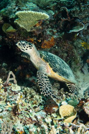 Sea turtle -Raja Ampat- 20141017 130324 UW 05700