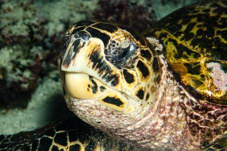 Sea turtle -Raja Ampat- 20141017 192108 UW 05767