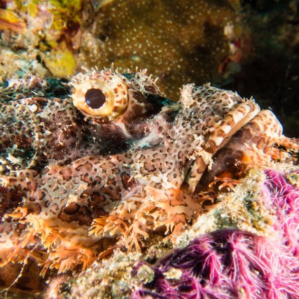 scorpionfishes